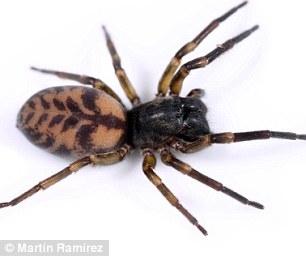 Tìm thấy nhện ma biết giăng tơ làm diều để bay xa hàng trăm km