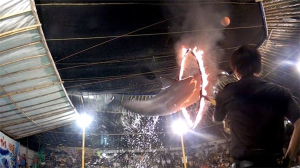 Những hình ảnhghi lại cảnh cá heo bị buộc nhảy qua những chiếc vòng lửa khiến người xem phẫn nộ.