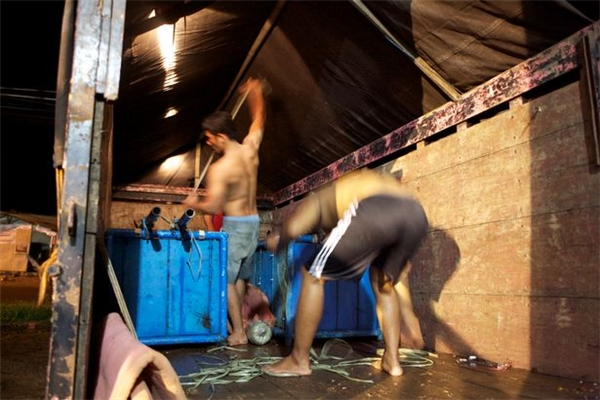 Các nhân viên trong rạp xiếc đang chất những thùng chứa cá heo lên xe tải để chở đến nơi biểu diễn mới.