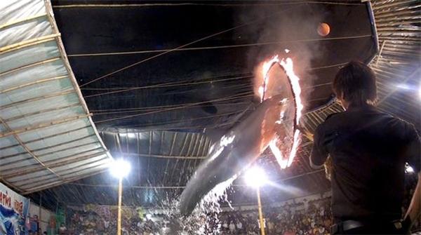 Cảnh cá heo nhảy qua vòng lửa tưởng chừng đã hếtnhưng lại tồn tại vào thời nay.