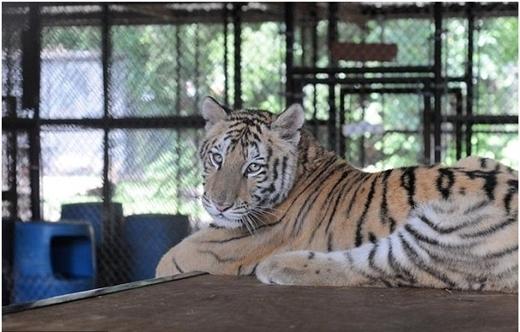 Nămnăm sau, nàng hổ đã trở nên oai vệ lạ thường so với hình ảnh trước đây!