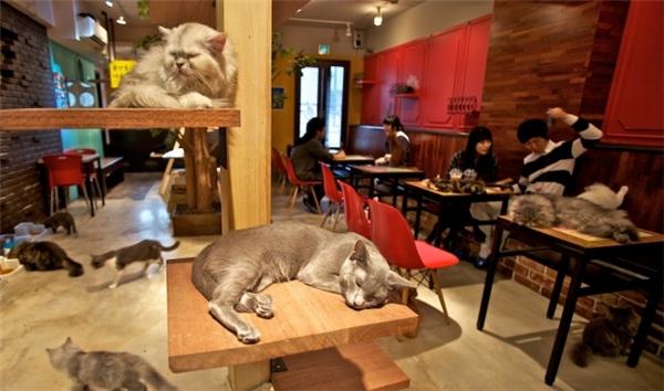 Những chú mèo mang đến sự ấm áp và dễ chịu, vì thế ở Nhật có khá nhiều những quán café mèo như thế này.
