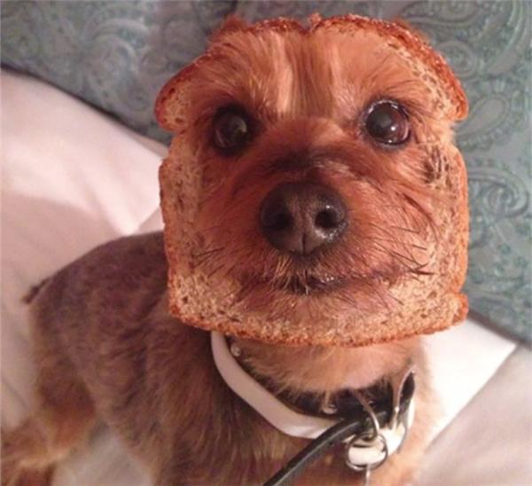 """Phát hiện giống """"chó bánh mì"""" mới đây!"""