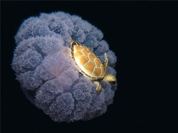 Một chú rùa đang quá giang trên lưng một con sứa có hình thù kỳ lạ.
