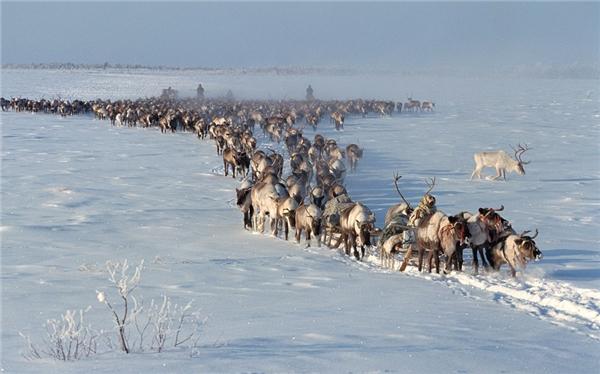 Tuần lộc Bắc Mỹ được xem là loài có chuyến di cư dài nhất trong các loài động vật có vú trên cạn.