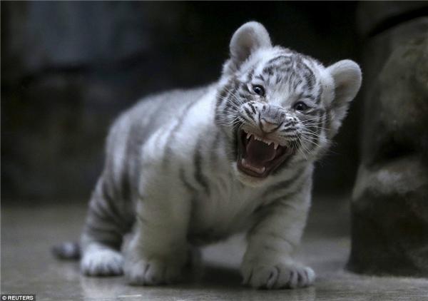 Chỉ mới 2 tháng tuổi nhưng bé hổ trắng này đã không chịu giữ hình tượng dễ cưng mà tạo cho mình cá tính riêng.