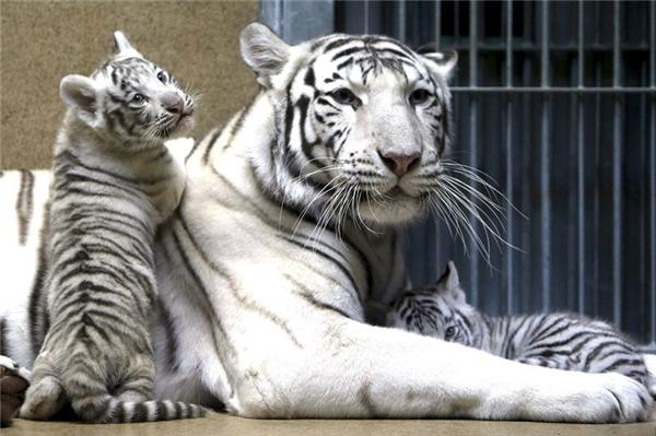 Surya cùng 2 đứa con may mắn sống sót của mình và nó đang chăm lo cho chúng rất tốt.