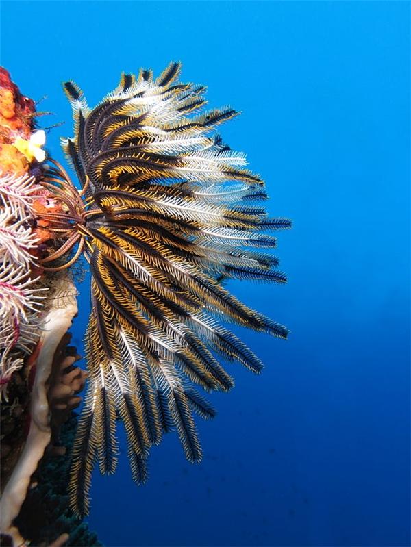 Ảnh chụp một con huệ biển đang bám trên san hô. (Ảnh: Wiki).