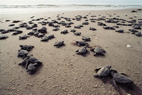 Rùa biển có khả năng đặc biệt là trở lại chính xác vị trí cũ dù đã di chuyển đến một nơi rất xa.