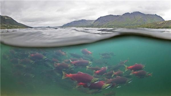 Cá hồi đặc biệt có khả năng di chuyển trong nước biển mặn lẫn nước ngọt trong suốt cuộc hành trình của mình.