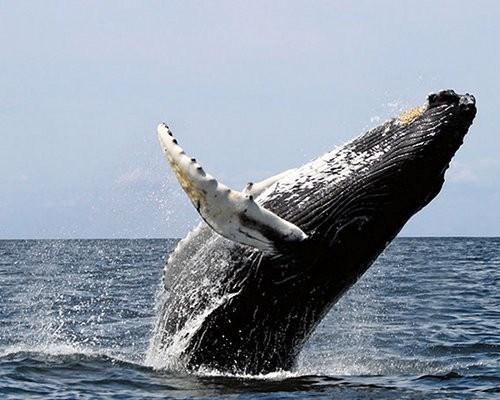 Cá voi tấm sừng được xem là động vật có vú có chuyển di cư dài nhất.