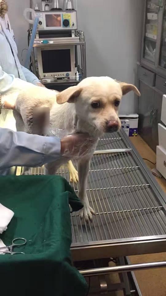 Chú chó nhỏ rất biết thân biết phận, để yên cho bác sĩ cứu chữa mình chứ không hề giãy giụa hay la hét lấy một tiếng.