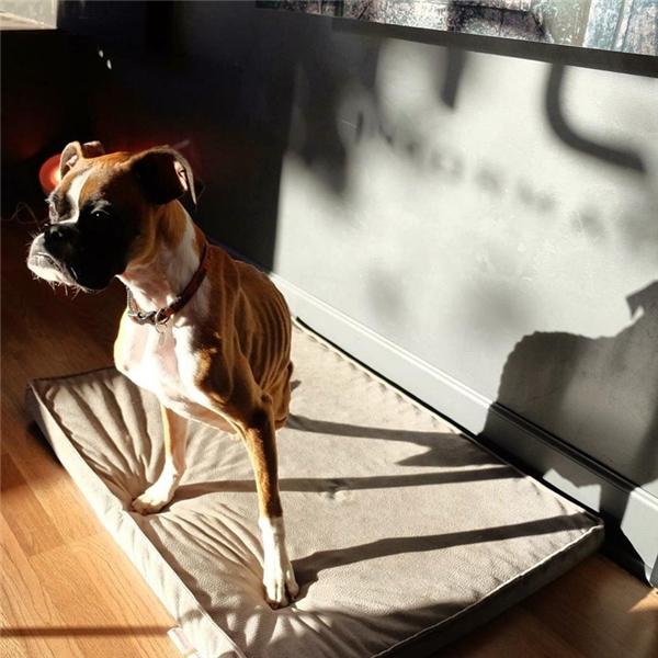 Nên biết rằng chỉ có 3% những chú chó được hồi sức tim phổi có khả năng sống sót, thế nhưng Duncan đã sống được qua cả hai lần.