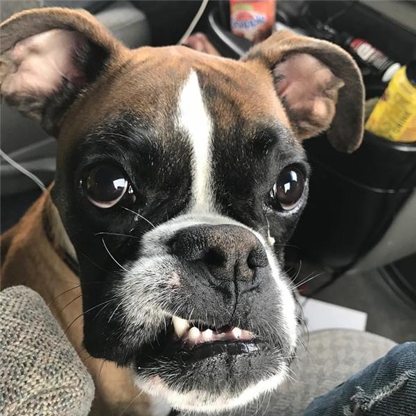 Chú chó đáng yêu này có tên là Duncan Lou Who, thuộc giống boxer, hiện đang sinh sống tại trung tâm cứu trợ chó Panda Paws Rescue tại Washington.