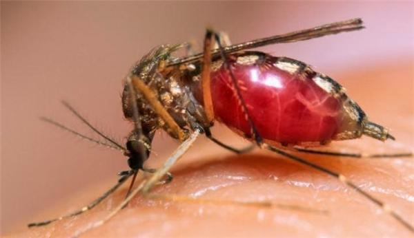 Muỗi mang nhiều mầm bệnh nguy hiểm cho con người.