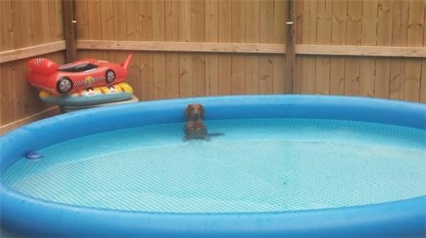Mới nghe có tiếng bì bõm ở đâu đây mà sao nhìn hoài không thấy có con chó nào trong bể bơi vậy nè.