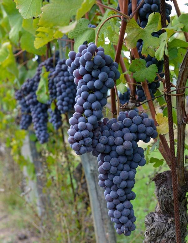 Không chỉ là nơi trồng nho, sản xuất rượu nho mà nơi đây còn là điểm du lịch tuyệt đẹp dành cho những ai yêu thích thiên nhiên, ngắm cảnh đồi nho nối tiếp nhau xa tít tắp.