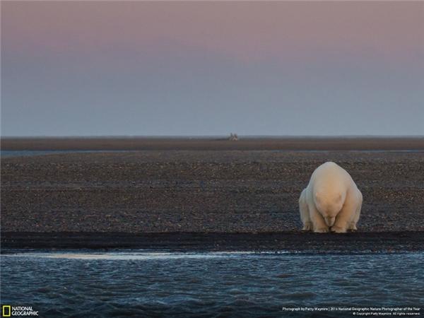Một chú gấu trắng cô độc ngồi buồn bã bên rìa Đảo Barter, Bắc Băng Dương. Mùa đông năm nay quá nóng và không có băng tuyết, gấu trắng ở đây luôn trong tình trạng thiếu đói vì không săn được mồi, chủ yếu là hải cẩu. (Ảnh: Patty Waymire)