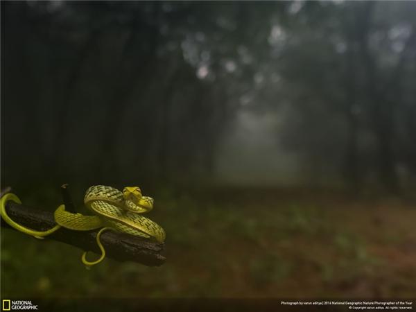 Một con rắn lục đang thu mình trên một khúc cây trong một khu rừng ở Amboli, Maharashtra, Ấn Độ. (Ảnh: Varun Aditya)
