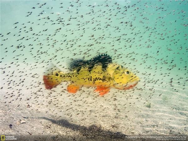 Bầy cá hoàng đế con bu quanh cá mẹ để được bảo vệ khỏi kẻ thù. Ảnh được chụp tại một dòng sông ở Nam Miami, Florida. (Ảnh: Michael O'Neill)