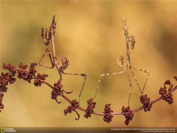 Hai con bọ ngựa ngụy trang trên một cành cây. Tình bạn thì không phân biệt màu da. (Ảnh: Jose Pesquero Gomez)