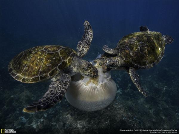 Những chú đồi mồi dứa đang thưởng thức một con sứa. (Ảnh: Scott Portelli)