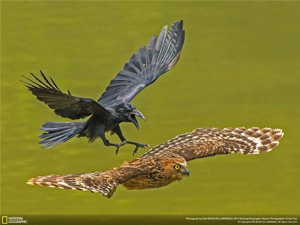 Một con quạ rượt đuổi một con cú ra khỏi lãnh thổ của mình. (Ảnh: Chia Boon Oo Lawrence)