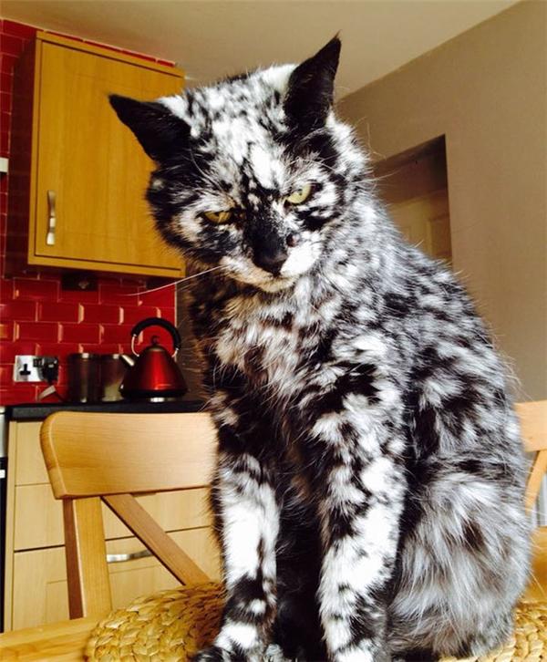"""Chú mèoScrappy với bộ lông """"bạc"""" của mình."""