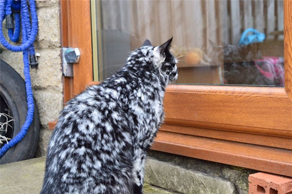 Scrappy vốn là một chú mèo đen thuần chủng. Và đến năm 7 tuổi, trên người Scrappy bắt đầu xuất hiện nhiều đốm lông màu trắng nhỏ.