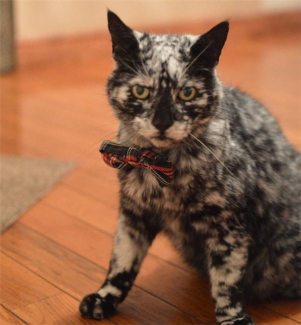 Trông chú mèo này vẫn rất lịch lãm dù bộ lông đã bạc gần hết.