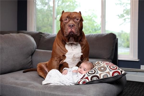 """Bức ảnh làm thay đổi suy nghĩ của nhiều người về giống chó pitbull hung tợn. Đây là Hulk, chú chó pitbull lớn nhất thế giới. Chú chó đang ngồi thư giãn trên ghế sofa để làm """"bảo mẫu"""" cho bé Jackson mới 3 tháng tuổi ở New Hampshire (Mỹ) hồi tháng 7."""