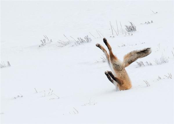 Hình ảnh chú cáo bị vùi đầu trong tuyết tại Công viên Quốc gia Yellowstone (Mỹ) gây ấn tượng mạnh với ban giám khảo và chiến thắng tại cuộc thi Những bức ảnh về động vật hoang dã hài hước nhất năm 2016.