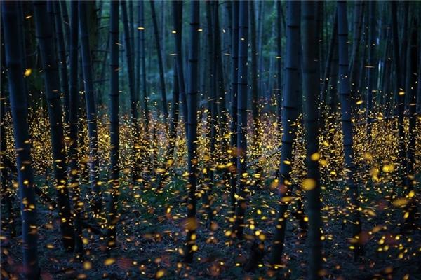 """Bức ảnh đã """"gây bão"""" mạng xã hội vào tháng 6 vừa qua vì quá ma mị và huyền ảo. Trong ảnh là hàng nghìn chú đom đóm đang """"nhảy múa"""" trong một khu rừng trên đảo ở Nhật Bản."""