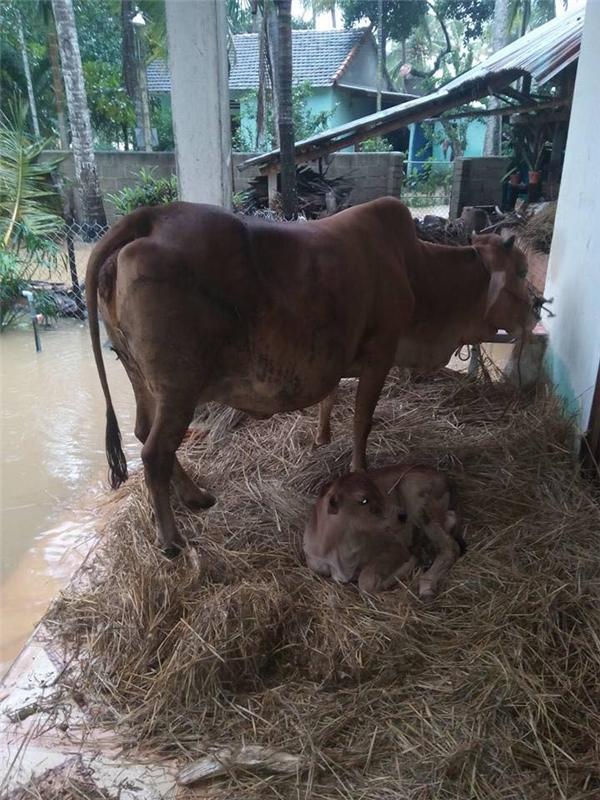 Con bò được xem như tài sản lớn nhất của người nông dân nghèo.(Ảnh: FB)