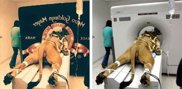 """Có lẽ bạn vẫn còn nhớ đoạn giới thiệu hãng phim MGM được chiếu trước mỗi tập phim Tom and Jerry. Trong năm 2016, trên Twitter đã xuất hiện một hình ảnh được xem là đã """"bóc mẽ"""" cách không hay ho gì MGM đã thực hiện để có được đoạn giới thiệu này. Thực tế, đó là hình ảnh photoshop lại từ ảnh chụp một chú sư tử đang chụp cắt lớp trong bệnh viện. Theo Business Insider, chú sư tử này có tên Samson và chú đang được chữa trị do không thể đi lại được."""