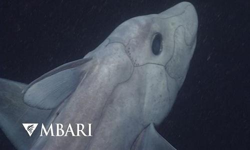 Phát hiện cá mập ma kì lạ có cơ quan sinh dục co lại trên trán