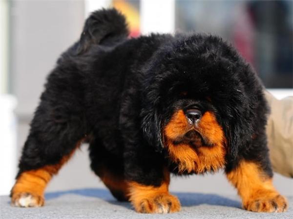 Chó Ngao Tây Tạng. (Ảnh: internet)