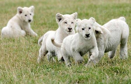 Sư tử trắng. (Ảnh: internet)
