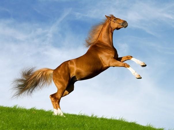 Ngựa Ả Rập. (Ảnh: internet)