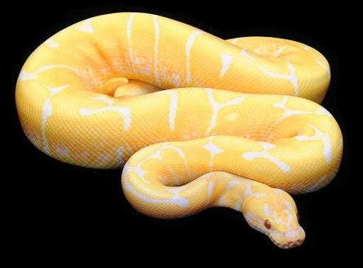 TrănLavender Albino. (Ảnh: internet)