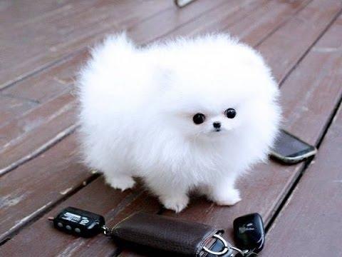 Chó Pomeranian mini. (Ảnh: internet)