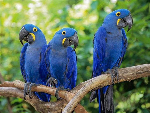 VẹtHyacinth Macaw. (Ảnh: internet)