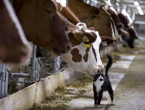 Hai chú bò sữa đang hôn một chú mèo con tại một trại bò sữa ở Granby, Quebec, Canada. (Ảnh: internet)