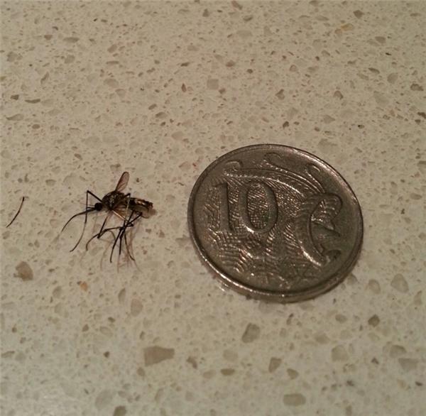 Australia, đất nước keo kiệtnhất thế giới, đúc tiền xu chỉ lớn hơn con muỗi một tí.