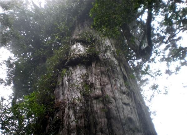 Nhiều nhà thực vật học tin rằng đây là loài cây sống lâu thứ hai trên Trái Đất.