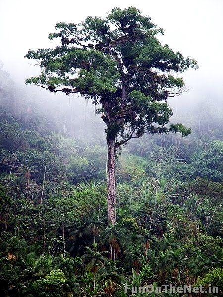 Cây Patriarca da Floresta có tuổi thọ lên đến 3.000 năm tuổi.
