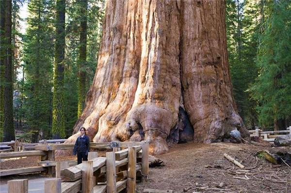General Sherman là cây tùng bách khổng lồ nhất còn sống trên thế giới.