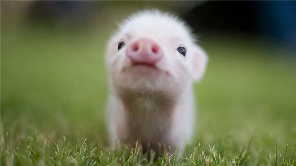 Vì sao lợn con lại đáng yêu đến thế?