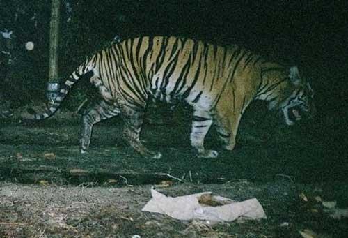 Hổ ba chân nổi tiếng ởCông viên Quốc gia Tesso Nilo.