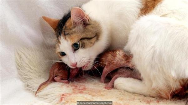Mèo sẽ ăn nhau thai ngay sau khi sinh.